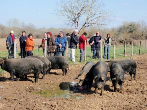 rencontre avec des cochons `gascons`